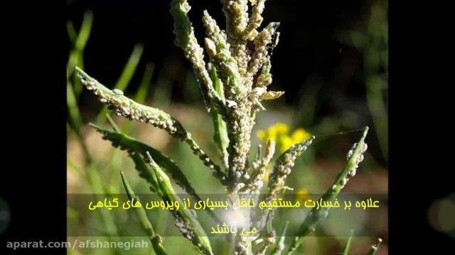 اثر حشره کش و کنه کش ارگانیک سولان