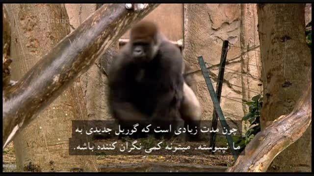 مستند حیات وحش در باغ وحش – گوریل پشت نقره ای