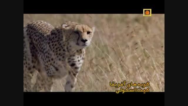 شکار آهو توسط یوزپلنگ