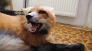 این روباه چی میگه یا چی میخواد؟
