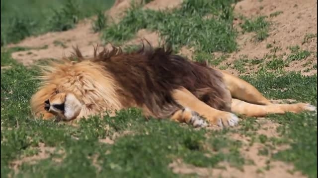 آیا شیرها خواب می بینند؟ - دانستنیها