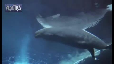 لحظه شگفت انگیز تولد نوزاد یک نهنگ سفید!!!