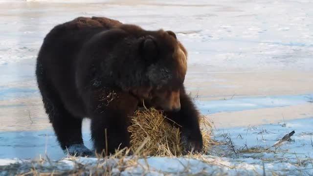 خرس بازیگوش