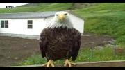 نزدیک شدن عقاب های سر سفید
