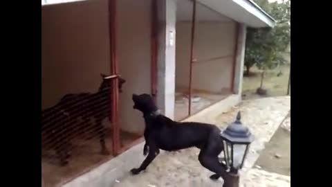 سگ دوبرمن ... بهترین نژاد سگ گارد