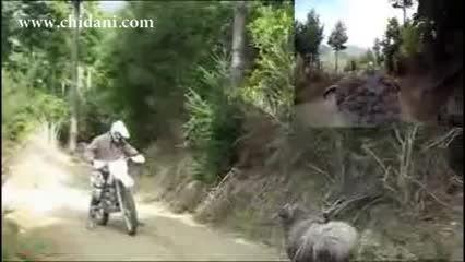 حمله قوچ عصبانی به موتورسوار