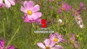 دانلود فوتیج گلهای صورتی با كیفیت بالا و بسیار زیبا