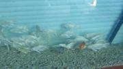 فروش ماهی کوی باله بلند سفید-هیکاری