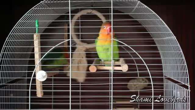 بازی طوطی های برزیلی در قفس