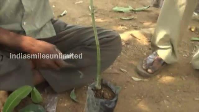پیوند زدن درخت میوه انبه Grafting Fruit Mango Trees