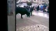 کشته شدن انسان توسط گاو!!