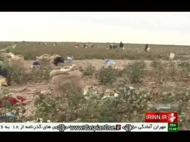 رکود صنعت پنبه استان گلستان و کاهش سطح زیر کشت پنبه