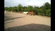 اسب سواری اسب وکره اسب زیبا