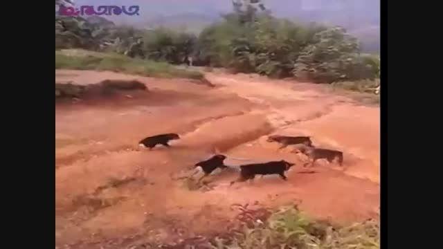 حمله سگ ها به شاه کبرا-درگیری جدال جنگ+کبری و سگ