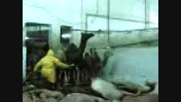 کشتارگاه شتر