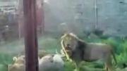 كشتن خر توسط شیر در باغ وحش
