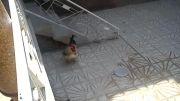 خروس خوش استیل