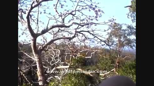 نبرد هیجانی پلنگ ها روی درخت