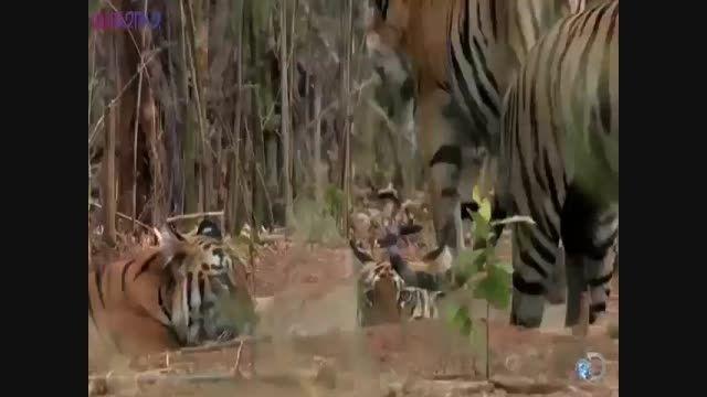 ببر ها شکار خرس+فیلم ویدیو کلیپ حیات وحش مستند راز بقا