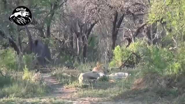 تقابل های شیر و کرگدن در حیات وحش