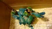 3 جوجه آرا آبی طلایی در پرنده فروشی دنیای منقارکج ها