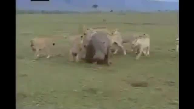 کرگدن سواری گله شیرها از نرسیدن زورشان به کرگدن