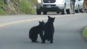 توله خرس های بازیگوش در وسط خیابان