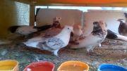 کبوتر های نر من