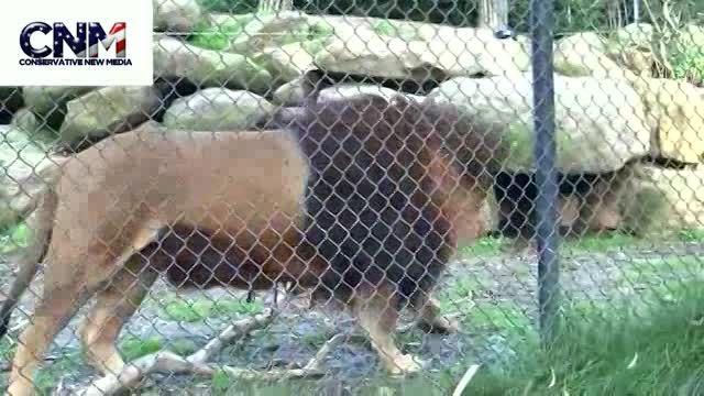 شیر بربر (وزن270تا 300 به زودی در حیات وحش ان شاالله)