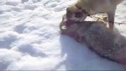 كشتن گرگ توسط سگ كانگال