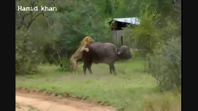 زنده خوردن دردناک بوفالو توسط سه شیر نر وحشی و گرسنه