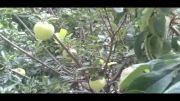شکوفه دادن درخت سیب در شهریور همزمان با میوه دهی