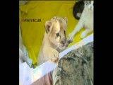 فیلم  پرورش یک بچه شیر در کنار گربه خانگی