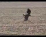 شكار آهو توسط عقاب