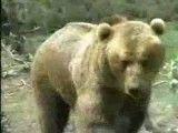 جنگ خرس  شیر و حس مادرانه شیر کوهی