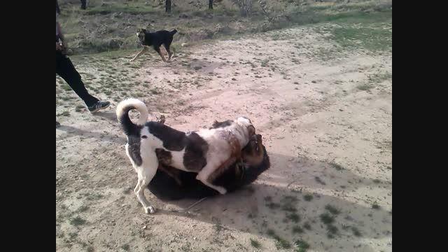 سگ ظالم ملاير