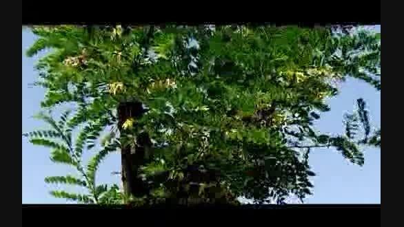 سرنوشت درخت هایی که جابجا شدند