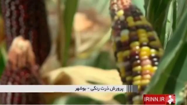 پرورش ذرت های رنگی - بوشهر