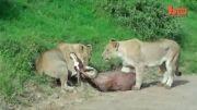 شکار کردن بز کوهی در هوا توسط شیرها