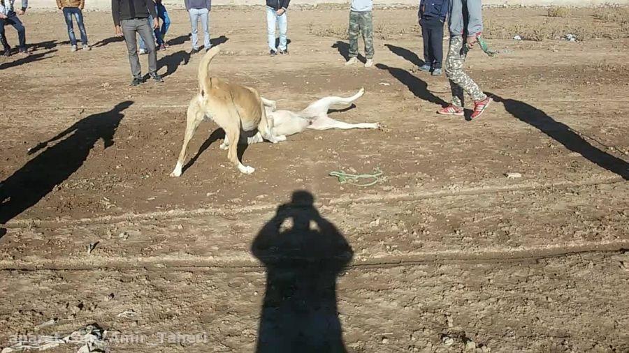 دعوای سگ افقان باسرابی ..نذاشت سگ سرابی نفس بکشه