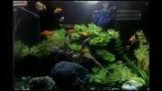 آکواریوم - ماهیان گیاهخوار - آکواریوم زیبا