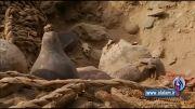 مومیاییهای هزار ساله در پرو + فیلم