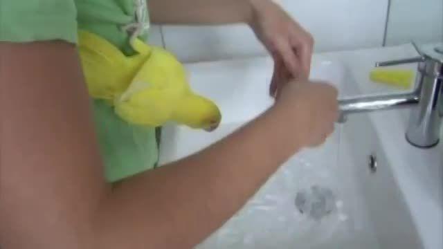 حمام کردن طوطی پاراکیت زرد یا ملنگوی زرد