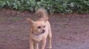 نجات دختر بچه توسط سگ شیواوا