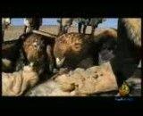 شكار گرگ توسط عقاب 100%ببین