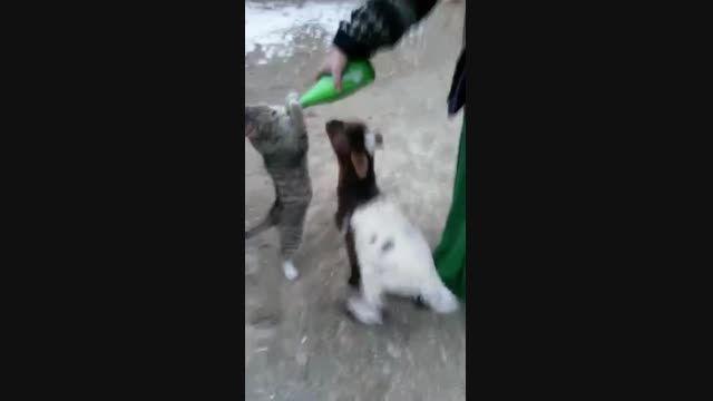 رقابت گوسفند و گربه سر شیر خوردن