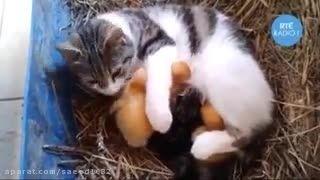 نگهداری جوجه ها توسط گربه