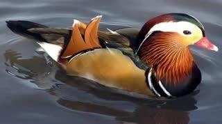 زیباترین اردک جهان