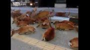 500 گوزن در شهر نامیا ژاپن