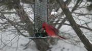 فنچ زیبای کاردینال قرمز